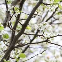 Pear Blossoms {Spring Photography}